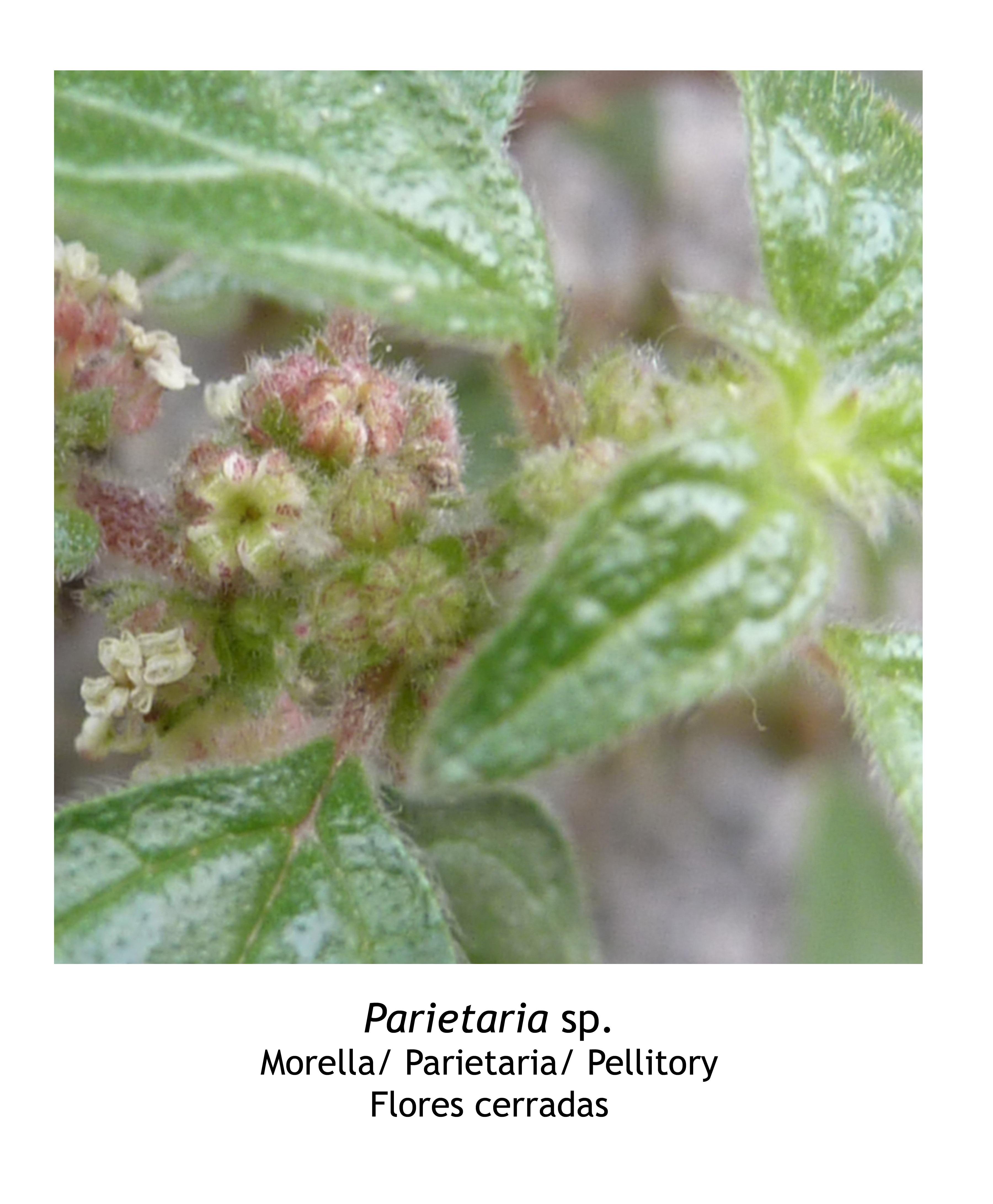 Parietaria Parietaria Sp App Planttes